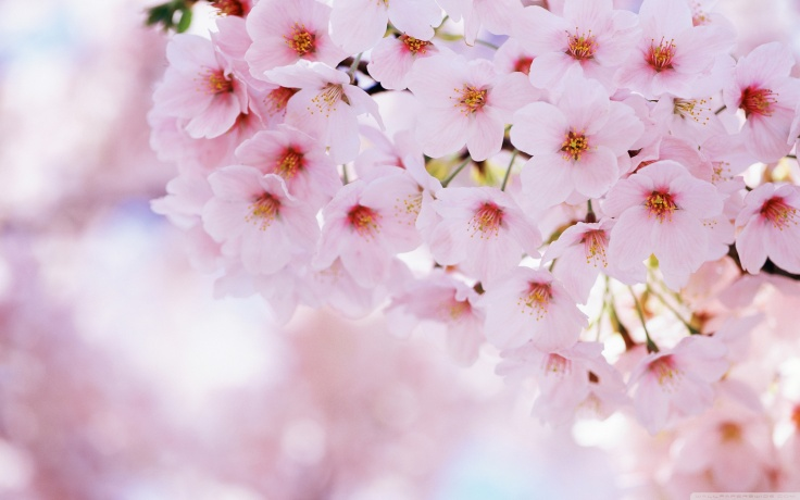 new year, cherry blossom embrace desires
